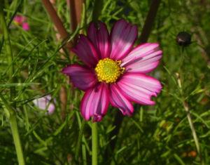 Schmuckkoerbchen Bluete weiss pink Cosmea bipinnata 24