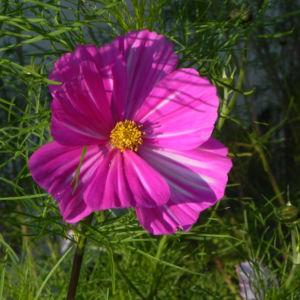 Schmuckkoerbchen Bluete weiss pink Cosmea bipinnata 25
