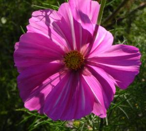 Schmuckkoerbchen Bluete weiss pink Cosmea bipinnata 27