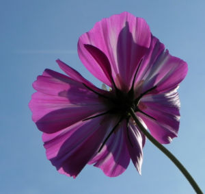 Schmuckkoerbchen Bluete weiss pink Cosmea bipinnata 28