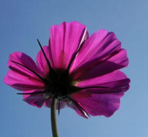Schmuckkoerbchen Bluete weiss pink Cosmea bipinnata 29