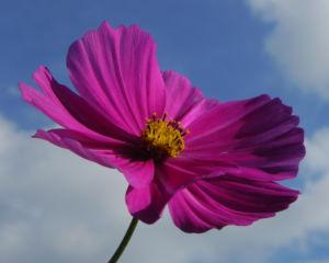 Schmuckkoerbchen Bluete weiss pink Cosmea bipinnata 31