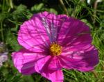 Bild: Schmuckkörbchen Blatt grün Blüte weiß pink Cosmea bipinnata