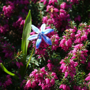 Schnee Heide Bluete lila Erica herbacea 01
