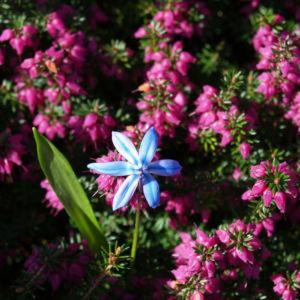Schnee Heide Bluete lila Erica herbacea 03
