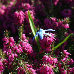 Bild: Schnee Heide Bluete lila Erica herbacea