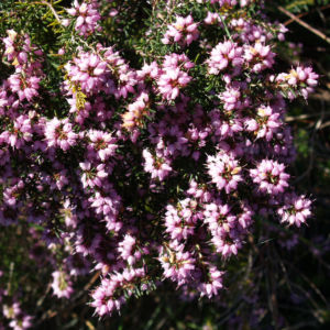 Schnee Heide Bluete lila Erica herbacea 06