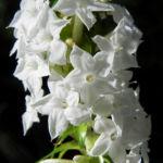 Schnee Kranz Bluete weiß Woollsia pungens 09