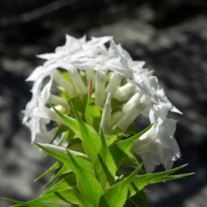 Schnee Kranz Bluete weiß Woollsia pungens 10