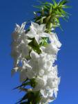 Schnee Kranz Bluete weiß Woollsia pungens 12