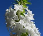 Schnee Kranz Bluete weiß Woollsia pungens 13