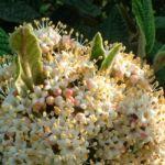 Schneeball lederblaettrig Viburnum rhytidophyllum 01