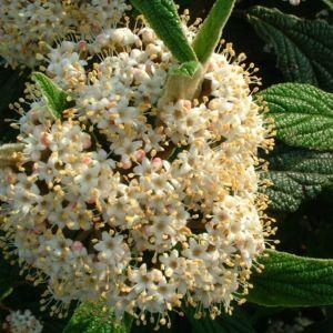 Schneeball lederblaettrig Viburnum rhytidophyllum 03