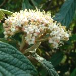 Schneeball lederblaettrig Viburnum rhytidophyllum 04