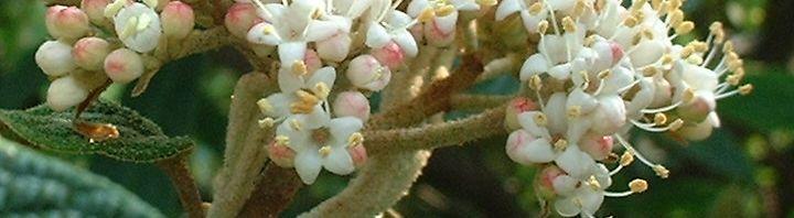Anklicken um das ganze Bild zu sehen Runzelblättriger Schneeball Blüte weiss Viburnum rhytidophyllum