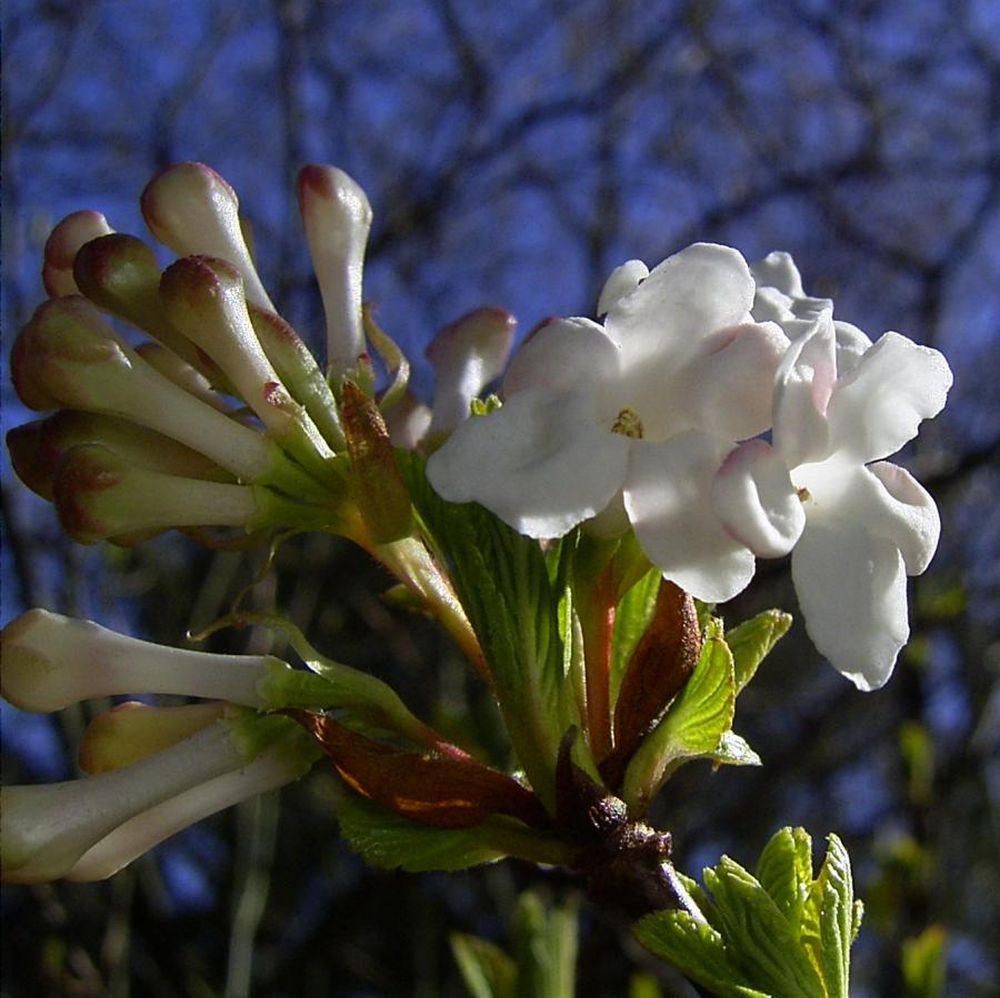 Schneeball weisse Bluete Viburnum carlesii