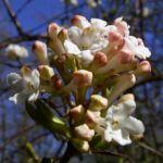Bild: Wohlriechender Schneeball Blüte weiß Viburnum carlesii