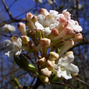 Bild: Schneeball weisse Bluete Viburnum carlesii