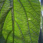 Schneeball Viburnum rythidophyllum 01