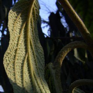 Schneeball Viburnum rythidophyllum 03