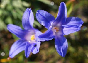 Schneeglanz Schneestolz Sternhyazinthe Bluete blau Chionodoxa luciliae 01