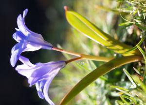 Bild: Schneeglanz Schneestolz Sternhyazinthe Bluete blau Chionodoxa luciliae