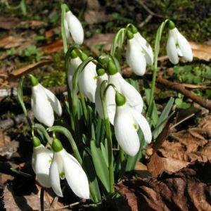 Schneegloeckchen Bluete weiss Galanthus nivalis 07