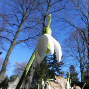 Schneegloeckchen Bluete weiss Galanthus nivalis 390