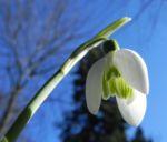 Schneegloeckchen Bluete weiss Galanthus nivalis 39 8
