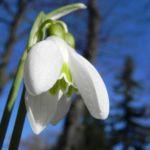 Schneegloeckchen Bluete weiss Galanthus nivalis 40 3