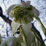 Schneegloeckchen Bluete Galanthus nivalis 01