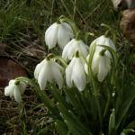 Schneegloeckchen Bluete Galanthus nivalis 03