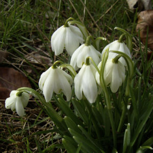 Bild: Schneegloeckchen Bluete Galanthus nivalis