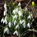 Schneegloeckchen Bluete Galanthus nivalis 04