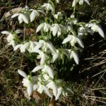 Bild: Ikaria-Schneeglöckchen Blüte weiß Galanthus ikariea