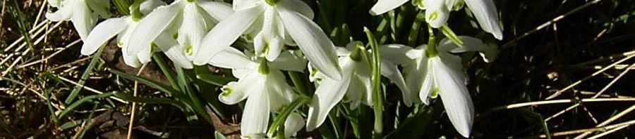 Anklicken um das ganze Bild zu sehen Ikaria-Schneeglöckchen Blüte weiß Galanthus ikariea