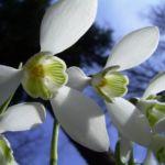 Bild: Gewöhnliches Schneeglöckchen Blüte weiß Galanthus nivalis