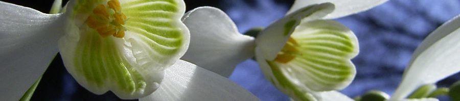Anklicken um das ganze Bild zu sehen Gewöhnliches Schneeglöckchen Blüte weiß Galanthus nivalis