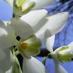 Schneegloeckchen Blueten Galanthus nivalis 04