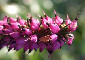 Schneeheide Winterheide Heidekraut Bluete rosa Erica carnea 03