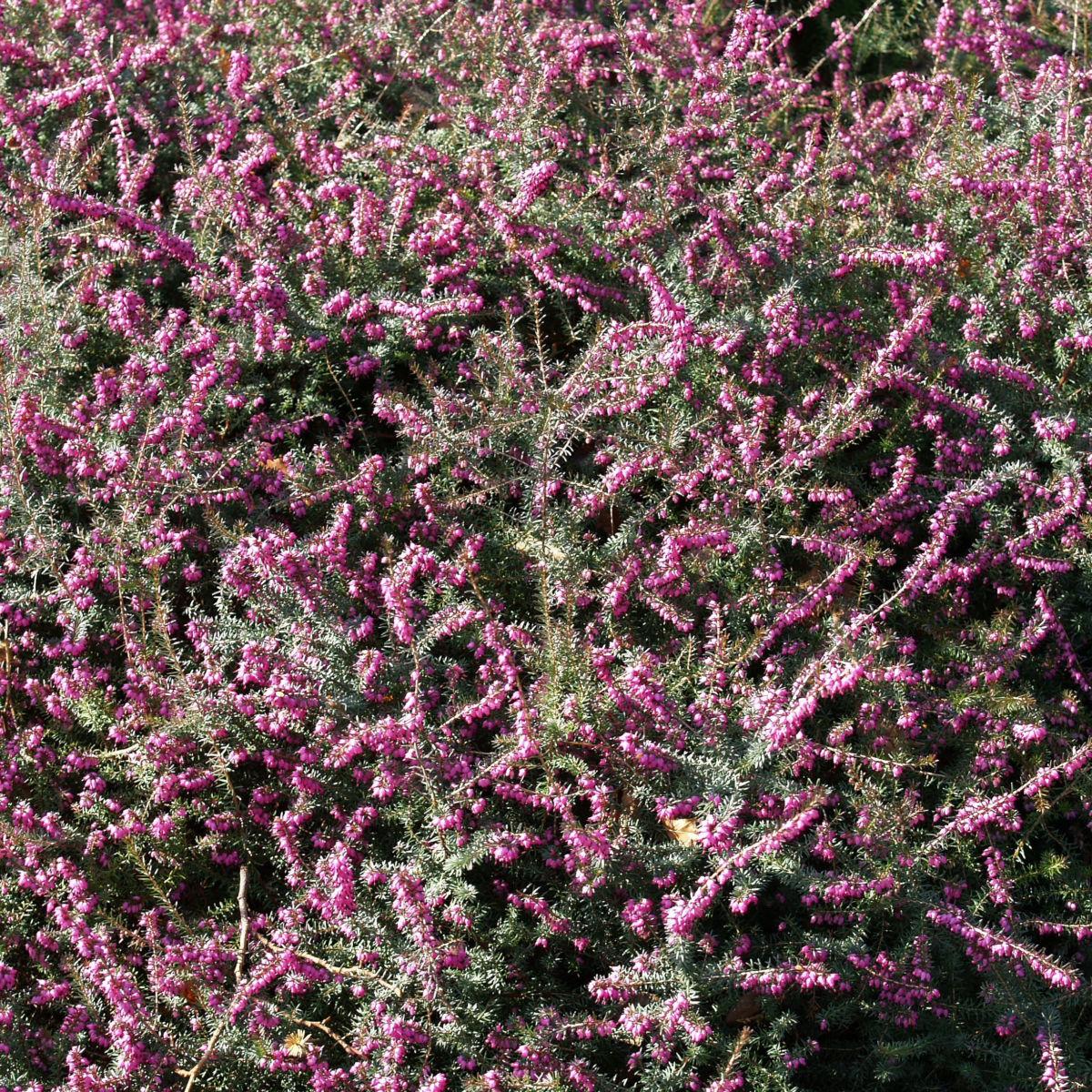 Schneeheide Winterheide Heidekraut Bluete rosa Erica carnea