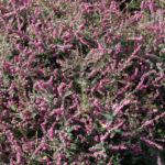 Schneeheide Winterheide Heidekraut Bluete rosa Erica carnea 04