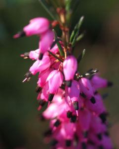 Schneeheide Winterheide Heidekraut Bluete rosa Erica carnea 05