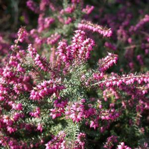 Schneeheide Winterheide Heidekraut Bluete rosa Erica carnea 08