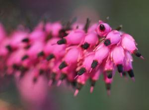 Schneeheide Winterheide Heidekraut Bluete rosa Erica carnea 09