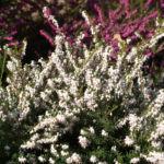 Schneeheide Winterheide Heidekraut Bluete weiss Erica carnea 03