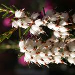 Schneeheide Winterheide Heidekraut Bluete weiss Erica carnea 04