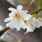 Schneekirsche Bluete weiss Prunus subhirtella 02