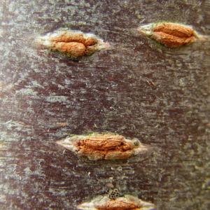 Schneekirsche Bluete weiss Prunus subhirtella 03