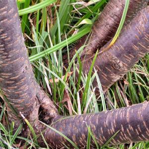 Schneekirsche Bluete weiss Prunus subhirtella 05